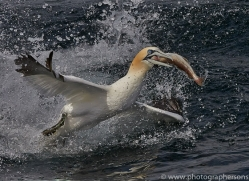 Gannet 2014-32copyright-photographers-on-safari-com