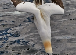 Gannet 2014-39copyright-photographers-on-safari-com