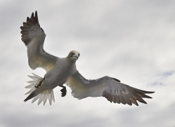 Gannet 2014-41copyright-photographers-on-safari-com
