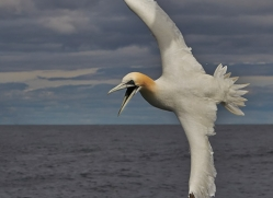 Gannet 2014-43copyright-photographers-on-safari-com