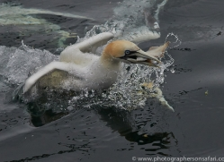 Gannet 2014-9copyright-photographers-on-safari-com