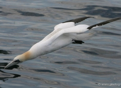 gannet-bass-rock-357-copyright-photographers-on-safari-com