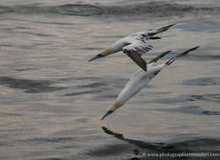 gannet-bass-rock-358-copyright-photographers-on-safari-com