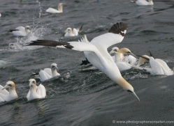 gannet-bass-rock-361-copyright-photographers-on-safari-com