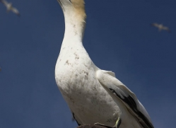 gannet-bass-rock-375-copyright-photographers-on-safari-com