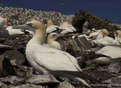 gannet-bass-rock-393-copyright-photographers-on-safari-com