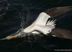 gannet-bass-rock-397-copyright-photographers-on-safari-com