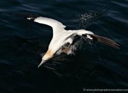 gannet-bass-rock-402-copyright-photographers-on-safari-com