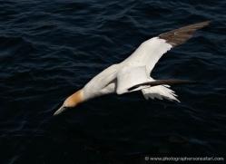 gannet-bass-rock-403-copyright-photographers-on-safari-com