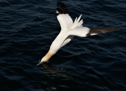 gannet-bass-rock-404-copyright-photographers-on-safari-com