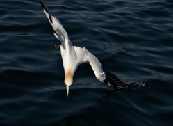 gannet-bass-rock-407-copyright-photographers-on-safari-com