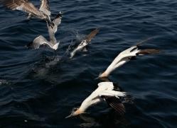 gannet-bass-rock-414-copyright-photographers-on-safari-com