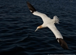 gannet-bass-rock-417-copyright-photographers-on-safari-com