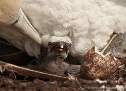 gannet-bass-rock-423-copyright-photographers-on-safari-com