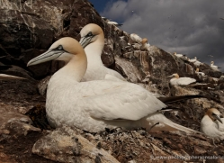 gannet-bass-rock-424-copyright-photographers-on-safari-com