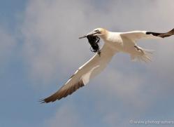 gannet-bass-rock-429-copyright-photographers-on-safari-com