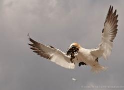 gannet-bass-rock-432-copyright-photographers-on-safari-com