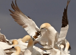 gannet-bass-rock-433-copyright-photographers-on-safari-com