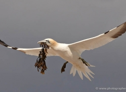 gannet-bass-rock-434-copyright-photographers-on-safari-com