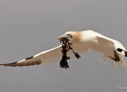 gannet-bass-rock-435-copyright-photographers-on-safari-com