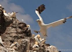 gannet-bass-rock-439-copyright-photographers-on-safari-com