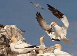 gannet-bass-rock-440-copyright-photographers-on-safari-com