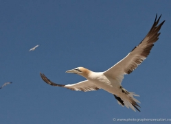 gannet-bass-rock-441-copyright-photographers-on-safari-com