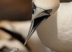 gannet-bass-rock-448-copyright-photographers-on-safari-com