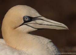 gannet-bass-rock-450-copyright-photographers-on-safari-com