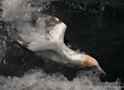 gannet-bass-rock-455-copyright-photographers-on-safari-com