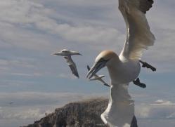 gannet-bass-rock-463-copyright-photographers-on-safari-com