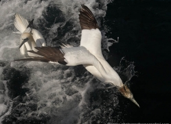 gannet-bass-rock-471-copyright-photographers-on-safari-com