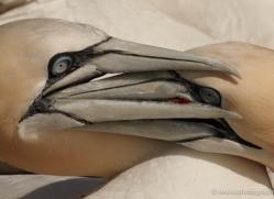 gannet-bass-rock-477-copyright-photographers-on-safari-com