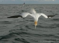 gannet-bass-rock-480-copyright-photographers-on-safari-com