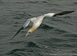 gannet-bass-rock-481-copyright-photographers-on-safari-com