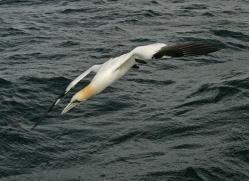 gannet-bass-rock-483-copyright-photographers-on-safari-com