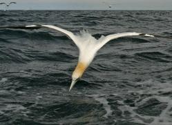 gannet-bass-rock-485-copyright-photographers-on-safari-com