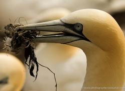 gannet-bass-rock-486-copyright-photographers-on-safari-com
