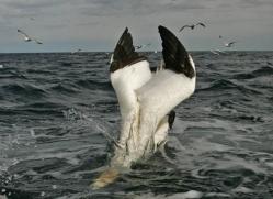 gannet-bass-rock-487-copyright-photographers-on-safari-com
