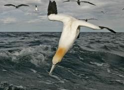 gannet-bass-rock-488-copyright-photographers-on-safari-com