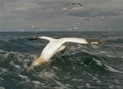 gannet-bass-rock-489-copyright-photographers-on-safari-com