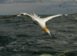 gannet-bass-rock-493-copyright-photographers-on-safari-com