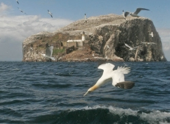 gannet-bass-rock-495-copyright-photographers-on-safari-com