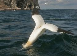gannet-bass-rock-496-copyright-photographers-on-safari-com