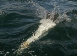 gannet-bass-rock-497-copyright-photographers-on-safari-com
