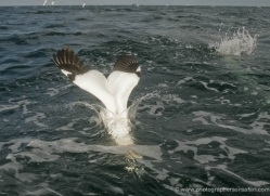 gannet-bass-rock-502-copyright-photographers-on-safari-com
