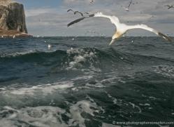 gannet-bass-rock-506-copyright-photographers-on-safari-com