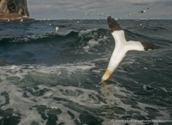 gannet-bass-rock-507-copyright-photographers-on-safari-com