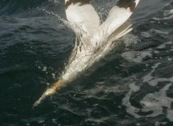 gannet-bass-rock-511-copyright-photographers-on-safari-com