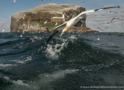 gannet-bass-rock-512-copyright-photographers-on-safari-com